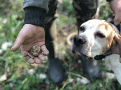 Охота на трюфели во Франции